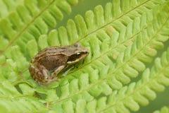 A cute baby Common Frog Rana temporaria sitting on a fern leaf. A very cute baby Common Frog Rana temporaria sitting on a fern leaf Royalty Free Stock Photos