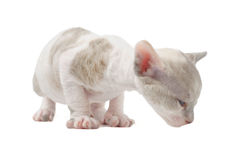 Cute Baby Cornish Rex Kitten Isolated on White Background Royalty Free Stock Images