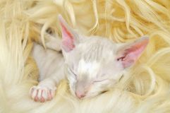 Cute Baby Cornish Rex Kitten Sleeping on Fur Stock Photography
