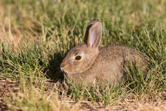 Cute Baby Cottontail Stock Images