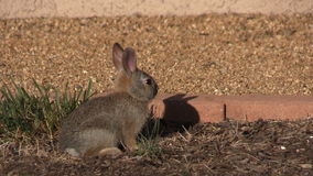 Cute Baby Cottontail stock video