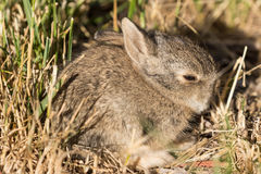 Cute Baby Cottontail. A cute baby cottontail rabbit Stock Image