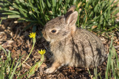 Cute Baby Cottontail Rabbit. A cute baby cottontail rabbit Stock Photo