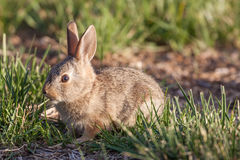 Cute Baby Cottontail Rabbit. A cute baby cottontail rabbit in grass Stock Image