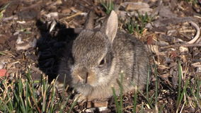 Cute Baby Cottontail Rabbit stock footage