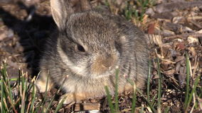 Cute Baby Cottontail Rabbit Zoom Out stock video
