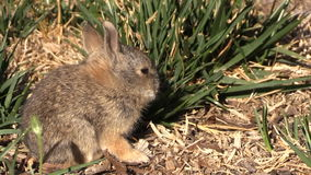 Cute Baby Cottontail stock video footage