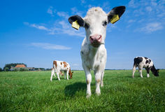 Cute baby cow stock image