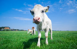 Cute baby cow Royalty Free Stock Photography