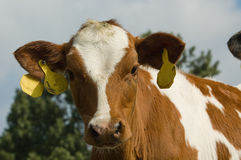 Cute baby cow Royalty Free Stock Photos