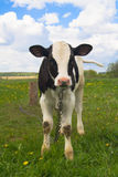 Cute baby cow Royalty Free Stock Images