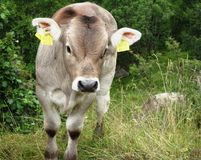 Cute baby cow looking angry. Angry baby cow ready to attack Royalty Free Stock Photos