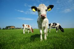 Cute baby cow in summer Stock Photos