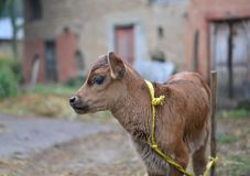 Cute baby cow tied to bamboo pole Royalty Free Stock Photos