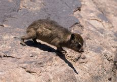 Cute baby dassie on the move stock images
