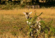 Cute Baby Deer hiding. Baby Fallow deer fawn in autumn hiding behind bracken Royalty Free Stock Photo