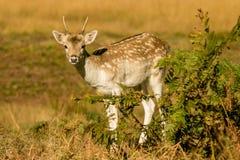 Cute Baby Deer hiding. Baby Fallow deer fawn in autumn hiding behind bracken Stock Photography