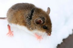 Cute baby deer mouse in the snow. Cute baby deer mouse walking in the fluffy snow in Ontario stock photos
