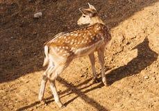 Cute baby deer. Cute baby deer in the national park royalty free stock photos