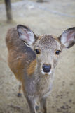 Cute baby deer portrait Stock Photos