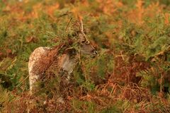 Cute Baby Deer in rutting season Royalty Free Stock Images