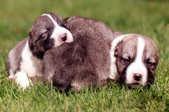 Cute baby dogs Stock Photo