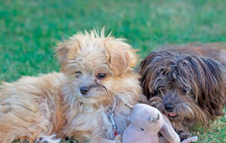 Cute baby dogs. Two Bolonka whelps playing with soft toy. Bolonka refers to small breeds of dog of the Bichon type, originally from Russia, developed from the stock photos