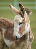 Cute Baby Donkey Royalty Free Stock Photo