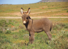 Cute Baby Donkey. A cute baby donkey standing in the veldt Royalty Free Stock Photography