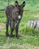 Cute baby donkey. On pasture Stock Images