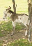 Cute baby donkey. On a farm Royalty Free Stock Image