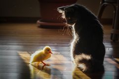 Cute baby duck and the cat royalty free stock photo