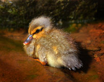 Cute Baby Duck. A baby duckling sits in shallow water royalty free stock images