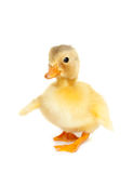 Cute baby duck Stock Image