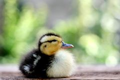 Cute baby duck. Three days old cute baby duck stock photos