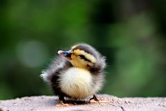 Cute baby duck. Three days old cute baby duck stock photo