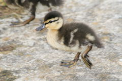 Cute baby duckling Royalty Free Stock Images