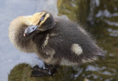 Cute baby duckling giving a cheeky look Royalty Free Stock Image