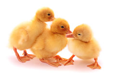 Cute baby ducklings Stock Image