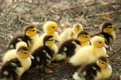 Cute baby ducks. 10 little ducks went out one sunny day Stock Images