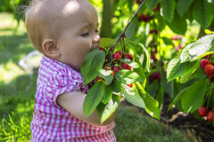 Cute baby eating cherries. Funny baby eating cherries straight from the tree Stock Image