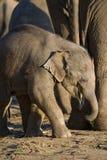 Cute baby elephant Stock Image