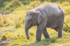Cute Baby Elephant. Baby elephant at Chitwan National Park,Sauraha,Nepal stock photo