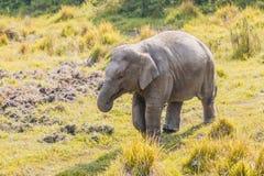 Cute Baby Elephant. Baby elephant at Chitwan National Park,Sauraha,Nepal royalty free stock photo