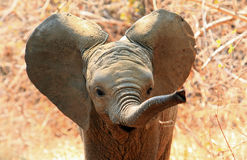 Cute baby elephant with ears flapping and trunk extended. An adorable baby African Elephant with ears flapping and trunk extended in South Luangwa National Park royalty free stock image