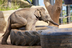 Cute baby elephant playing Royalty Free Stock Images