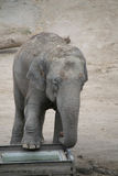 Cute baby elephant Royalty Free Stock Image