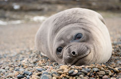 Cute baby elephant seal, Valdes Peninsula. royalty free stock image