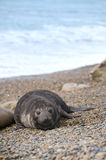 Cute baby elephant seal, Valdes Peninsula Stock Images