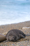 Cute baby elephant seal, Valdes Peninsula Stock Image